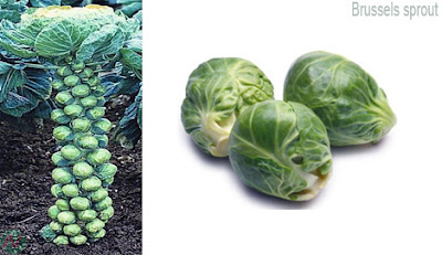 brussels sprout vegetable