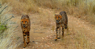 Gepard, cheetah, guépard, gepardo, gepardi, guépard, chita, γατόπαρδος, blettatígur, ghepardo, チーター, сілеусін, guepard, haramcad, guepardo, çita, chita , beo ở phi châu, ゲプハルト, Гебхард, 格布哈特, เกบฮาร์ด, جبهارد,