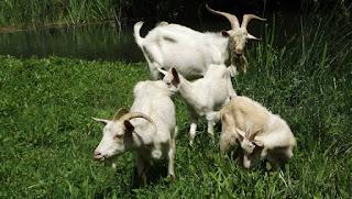 keçi, zaman, yavru,