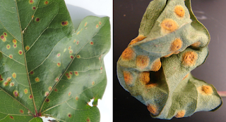 A composite photo of cotton leaves with spots cause by rust