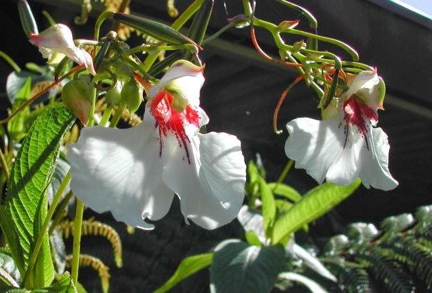 Impatiens tinctoria flowers