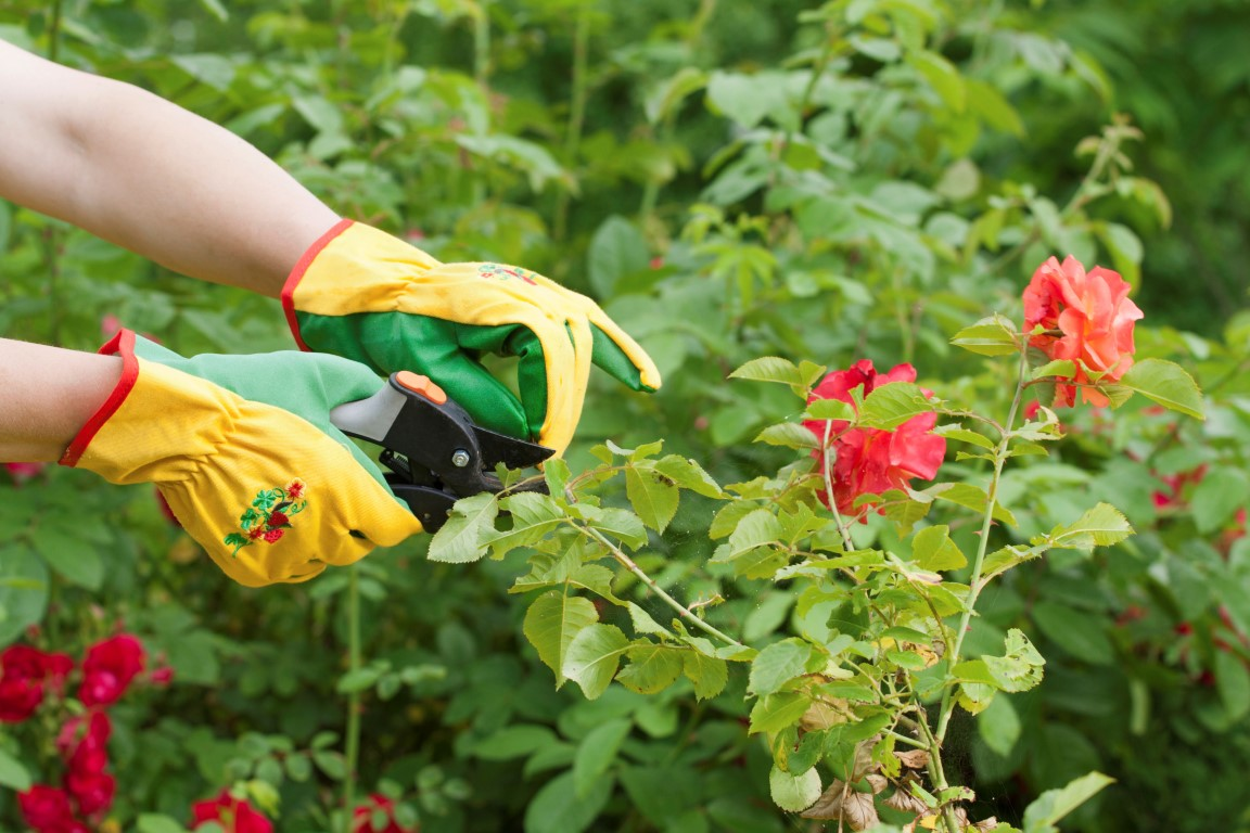 Todo sobre la poda de los rosales amigos de la jardiner a - Todo sobre jardineria ...