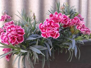 Arti Anyelir, Sejarah, Simbol Dengan Gambar Bunga Cantik