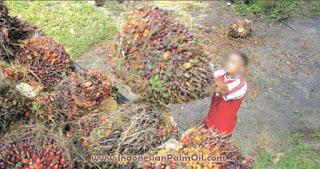 DBH bagi hasil kelapa sawit