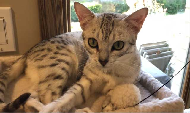 Egyptian Mau Cat Breed Information