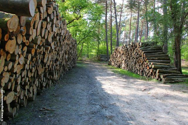 Coupe de jeunes hêtres et vieux pins en Forêt de Fontainebleau