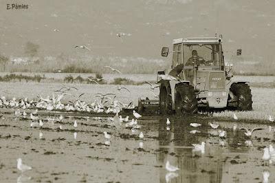 Gaviotas siguiendo a un tractor en el Delta del Ebro