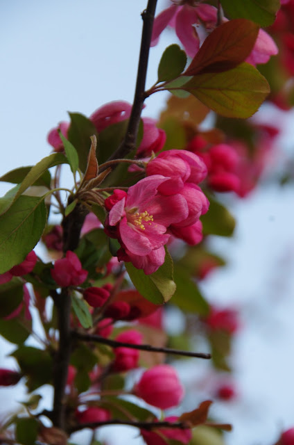 Detail of Crabapple Blossom - Pink Bloom Ottawa