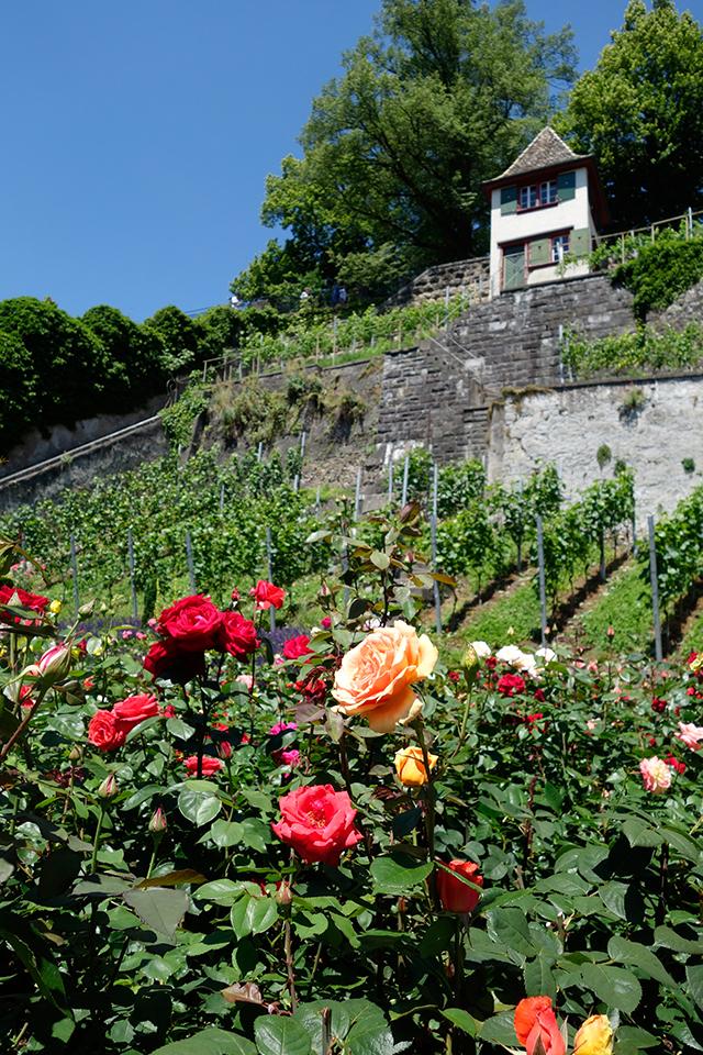 Mesto ruží