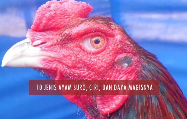 Jenis-Jenis Ayam Suro, Ciri, dan Keunggulan Daya Magisnya