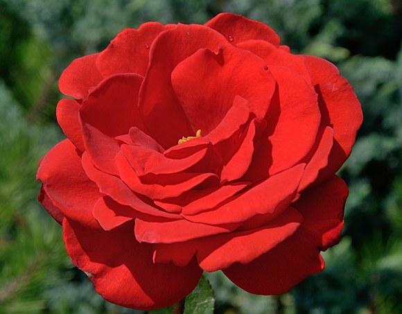 Rebell сорт розы фото