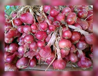 Mengenal 7 Varietas Unggul Bawang Merah di Indonesia yang bisa ditanam Petani