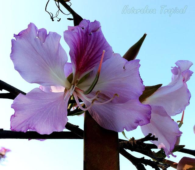 Flor de un Árbol Orquídea, Bauhinia sp
