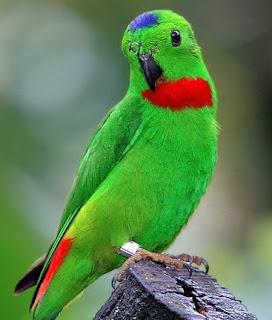 Download suara burung serindit