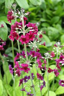 Primevère poudreuse - Primula pulverulenta - Primevère pulvérulente