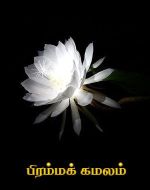 பிரம்மக் கமலம்