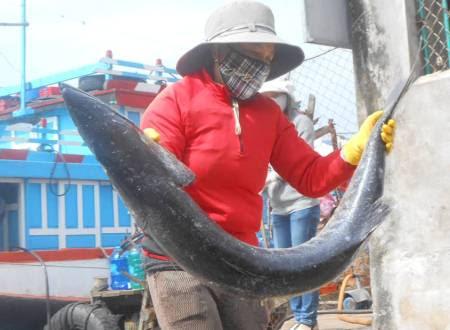 Hậu phương ở đất liền hối hả mang những con cá to từ tàu cá vào kho chế biến và đông lạnh, sẵn sàng mang lộc biển đi đến khắp cả nước.
