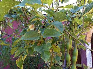Erythrina americana, Colorín