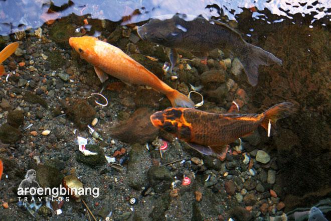 ikan koi pemandian cikoromoy pandeglang banten
