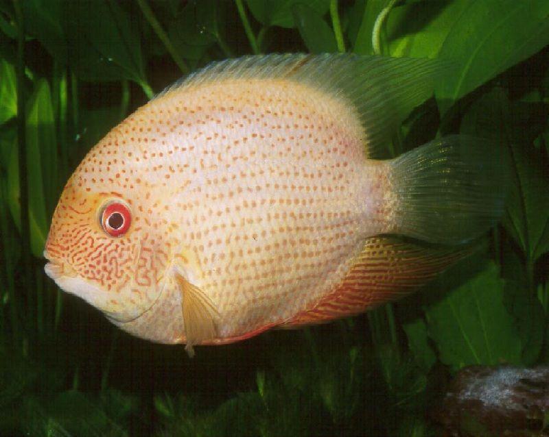 ikan cichlid