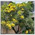 Jual Pohon Tabibuya atau Tabebuia Kuning | 08999778806