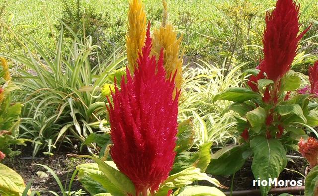 Espinacas de Lagos Celosia argentea var plumosa