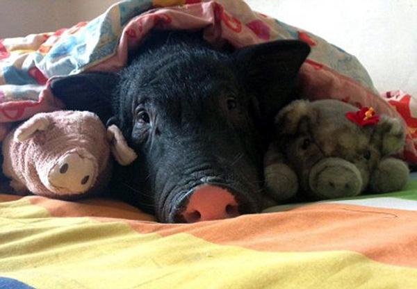 Cô gái ngủ cùng giường, đắp cùng chăn với lợn cưng xấu xí