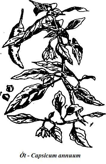 Hình vẽ cây Ớt - Capsicum annuum - Nguyên liệu làm thuốc Chữa Bệnh Tiêu Hóa