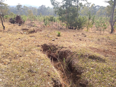 Reforestation Conafor Michoacan Mexico ecological restoration pines community trenches contour erosion control