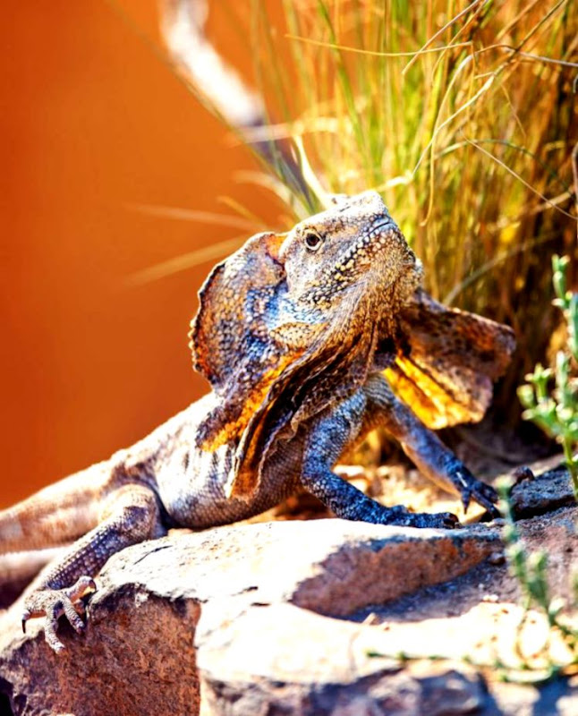 Frilled Neck Lizard Habitat Diet & Reproduction NSW