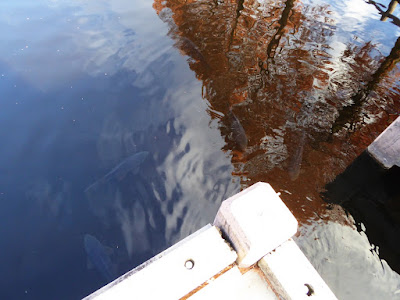 打上川治水緑地 池の鯉