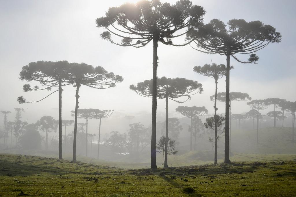 Projeto transforma o pinheiro-brasileiro em árvore símbolo de Espírito Santo do Pinhal
