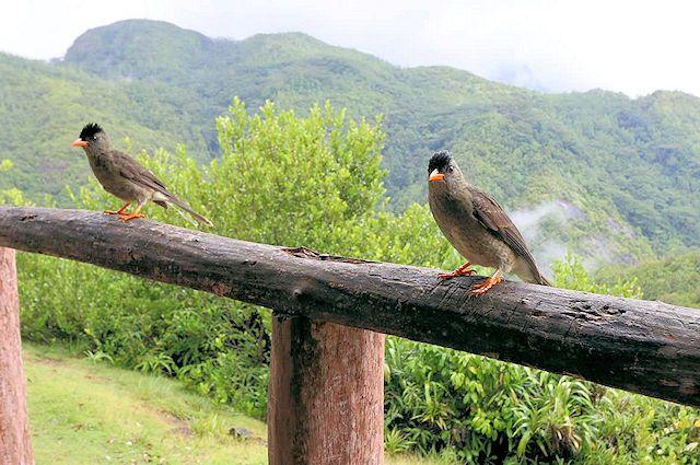 Seychellen Bülbül (C) JUREBU