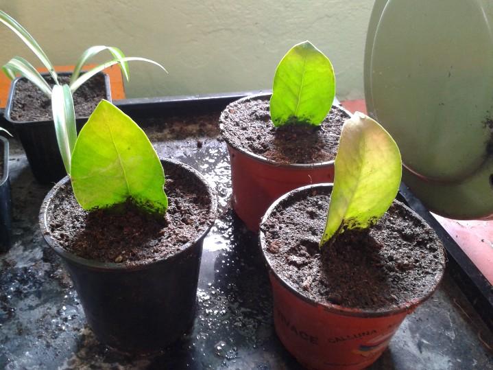 plante verte zamioculcas bouture