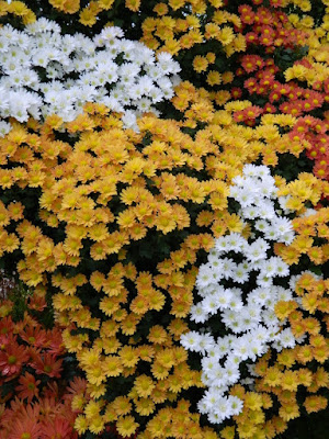 Masses of white and orange single mums at 2016 Allan Gardens Conservatory  Fall Chrysanthemum Show by garden muses-not another Toronto gardening blog
