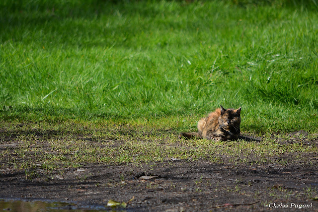 Old Tortie cat, feral and alone