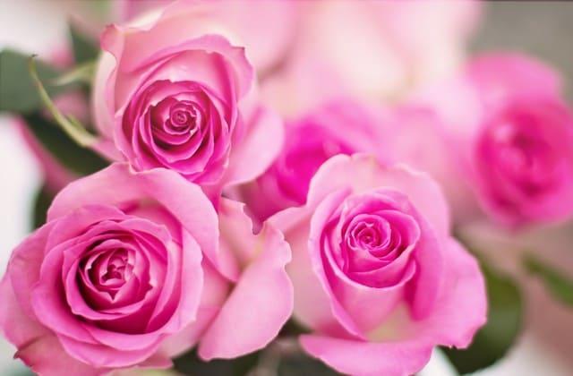 wallpaper mawar pink yang mempesona
