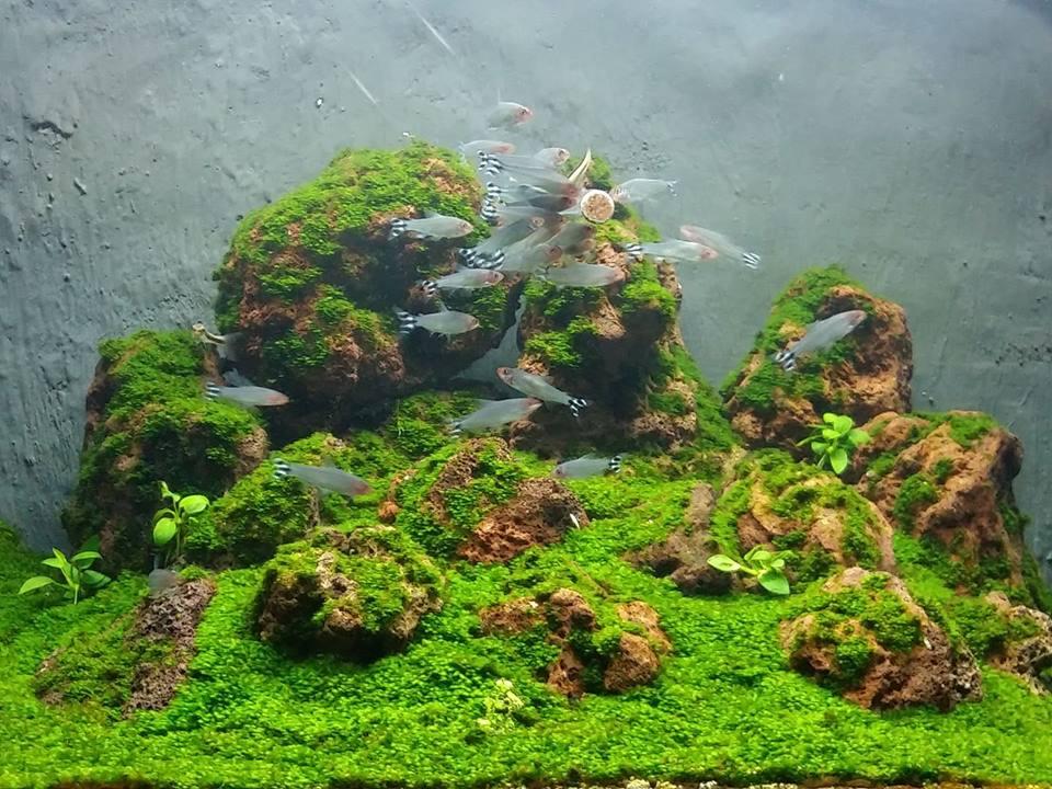 Cá mũi đỏ ăn thức ăn dán trong hồ thủy sinh