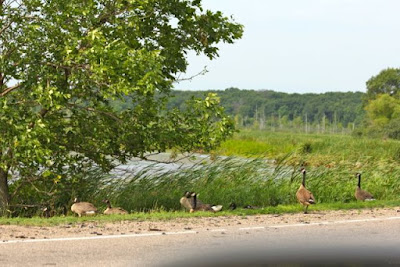 roadside geese from other years