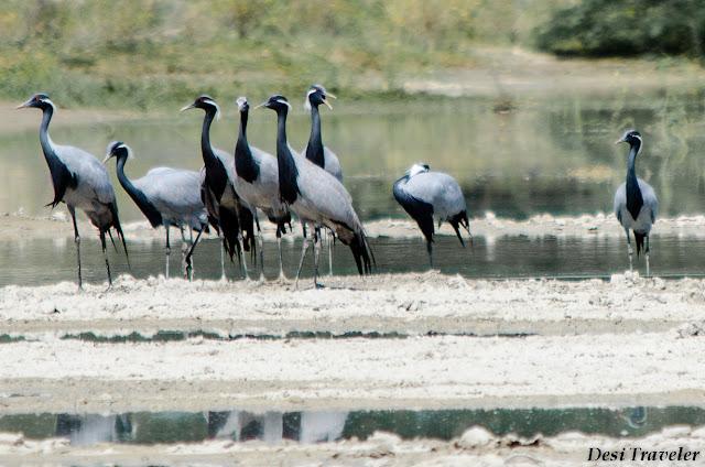 Demoiselle cranes (Anthropoides virgo) Kronch Crane Salt pans Rajasthan