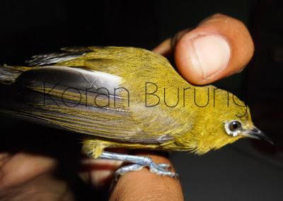 Dalam Perkontesan Pleci sangat fatal jikalau burung dalam keadaan over birahi ataupun kurang Birahi Pada Pleci Dan Mengenal Hubungannya Dengan Penampilan Di Perlombaan