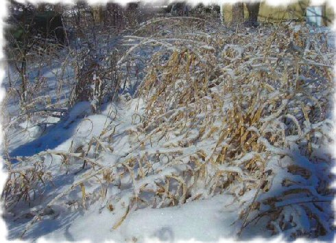 tall grass iced with snow cold image photo