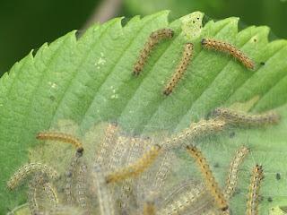 Hyphantria cunea - Chenille à tente estivale