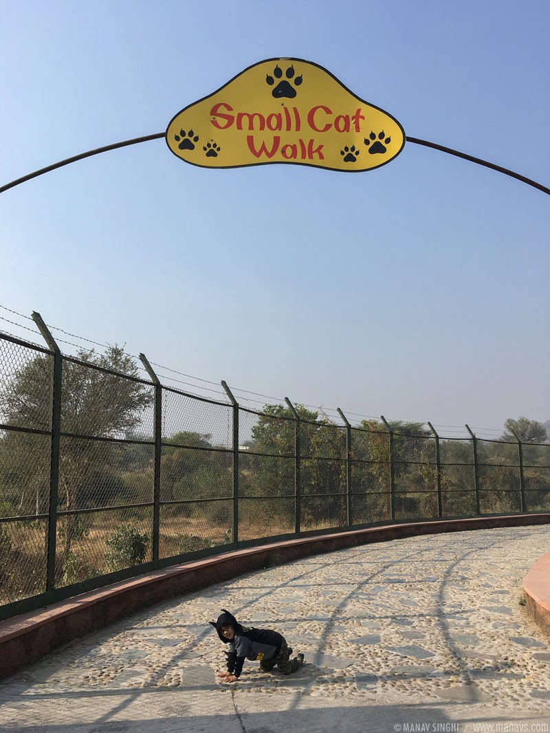 Beware of Small Cats roaming around free at Small Cat Walk at Nahargarh Biological Park, Jaipur, Rajasthan.