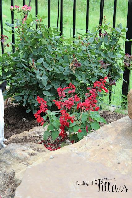 Saucy Red Salvia, perennial, Proven Winner