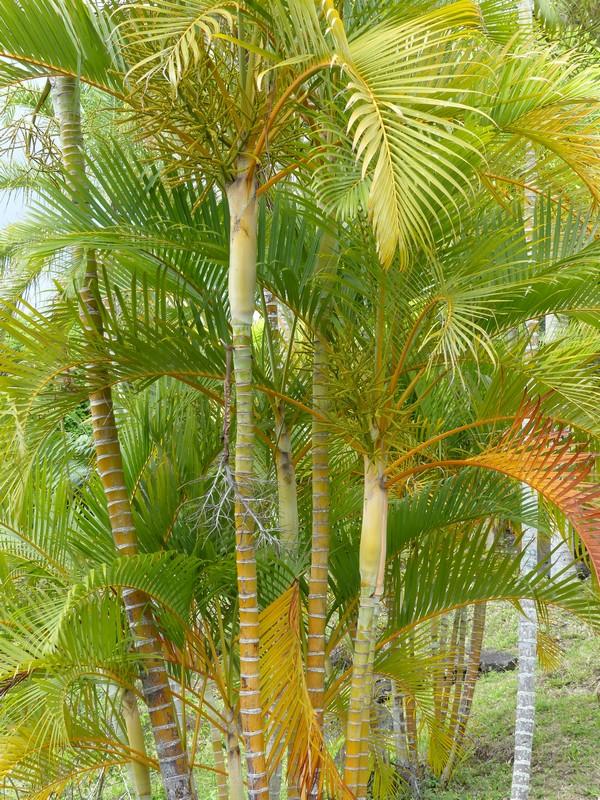 faaxaal photos nature gratuites et libres de droits palmier multipliant palmier d 39 arec. Black Bedroom Furniture Sets. Home Design Ideas
