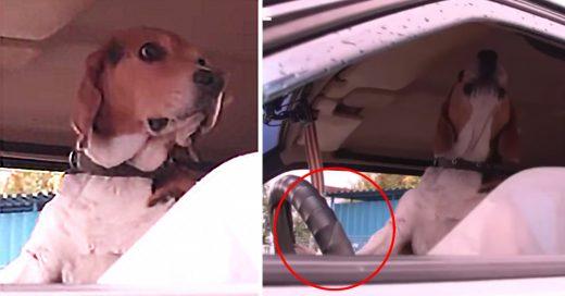 Un perro se cansa de esperar a su dueño y decide tocar el claxon (VIDEO)