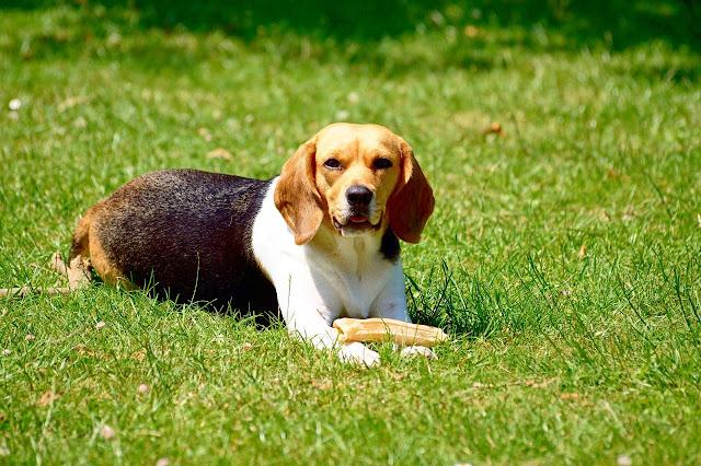 Irish dog breeds list - Irish dog breeds