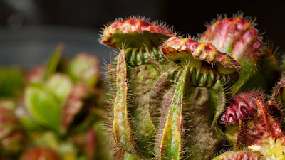 Grow and care Carnivorous plant