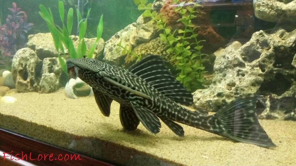 Gambar Suckermouth Catfish Jenis Jenis Ikan Catfish Atau Lele Hias